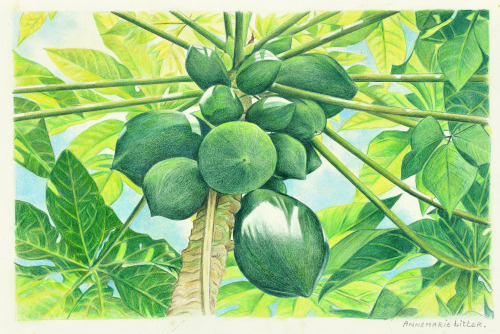 Papayas, Sint-Maarten, 1986, kleurpotlood